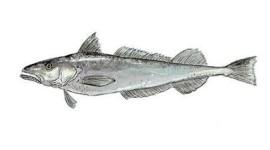 Alerta sobre el «Anisakis simplex»… presente en la merluza.