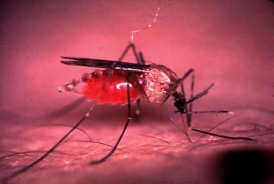 mosquito_malaria.jpg