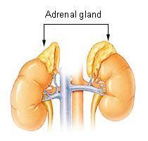 adrenal_gland.jpg