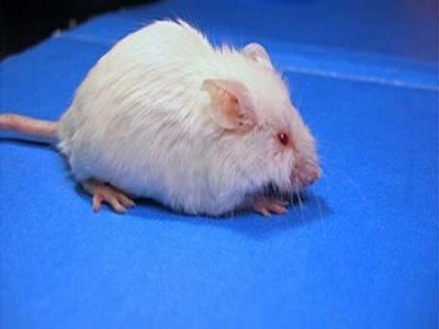 ratas parapléjicas