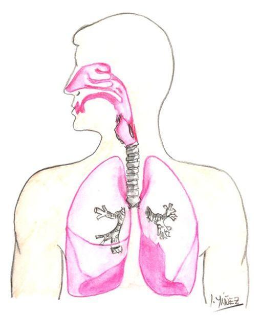 Imágenes del sistema respiratorio para pintar - Imagui