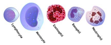 Recuento diferencial de leucocitos en sangre